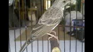 Burung Edel Sanger gacor josss