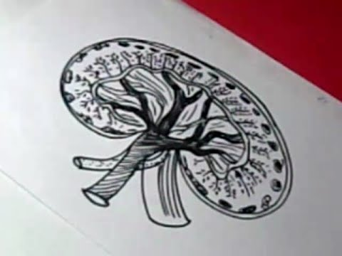 Diagram Of Where Kidneys Are Conventional Fire Alarm Control Panel Wiring How To Human Kidney Drawing For Kids Step By - Youtube
