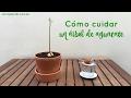 Cómo cuidar un árbol de aguacate