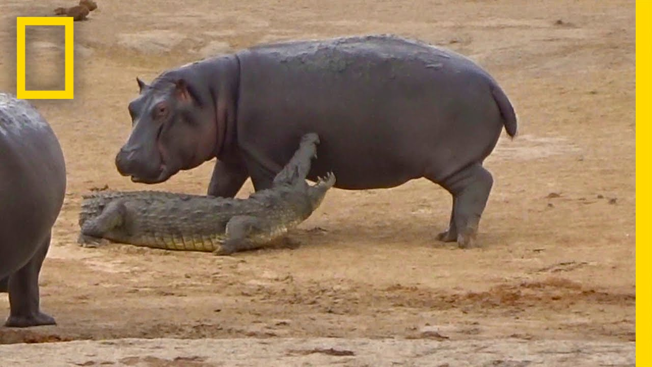 young hippo tries to play with crocodile national geographic - Pictures Of Hippos