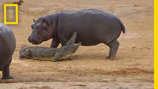 Young Hippo Tries To Play With Crocodile   National Geographic