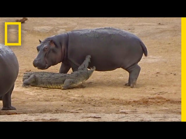 Young Hippo Tries to Play With Crocodile | National Geographic