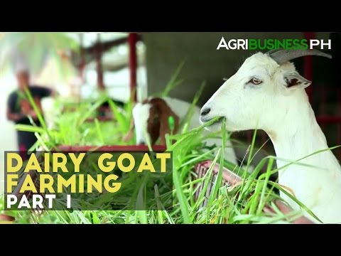 Dairy Goat Farming Part 1 : Dairy Goat Farming in the Philip
