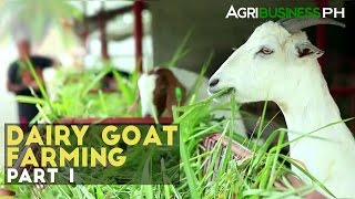Dairy Goat Farming Part 1 : Dairy Goat Farming in the Philippines | Agribusiness Philippines