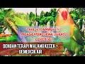 Terapi Suara Walang Kecek Gemercik Air Untuk Masteran Lovebird  Mp3 - Mp4 Download