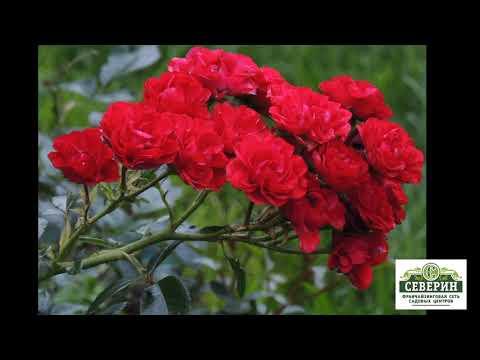 СРОЧНО!!!! В продаже самые зимостойкие розы!