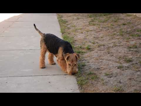 Datolya - Welsh Terrier