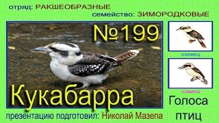 Кукабарра. Голоса птиц