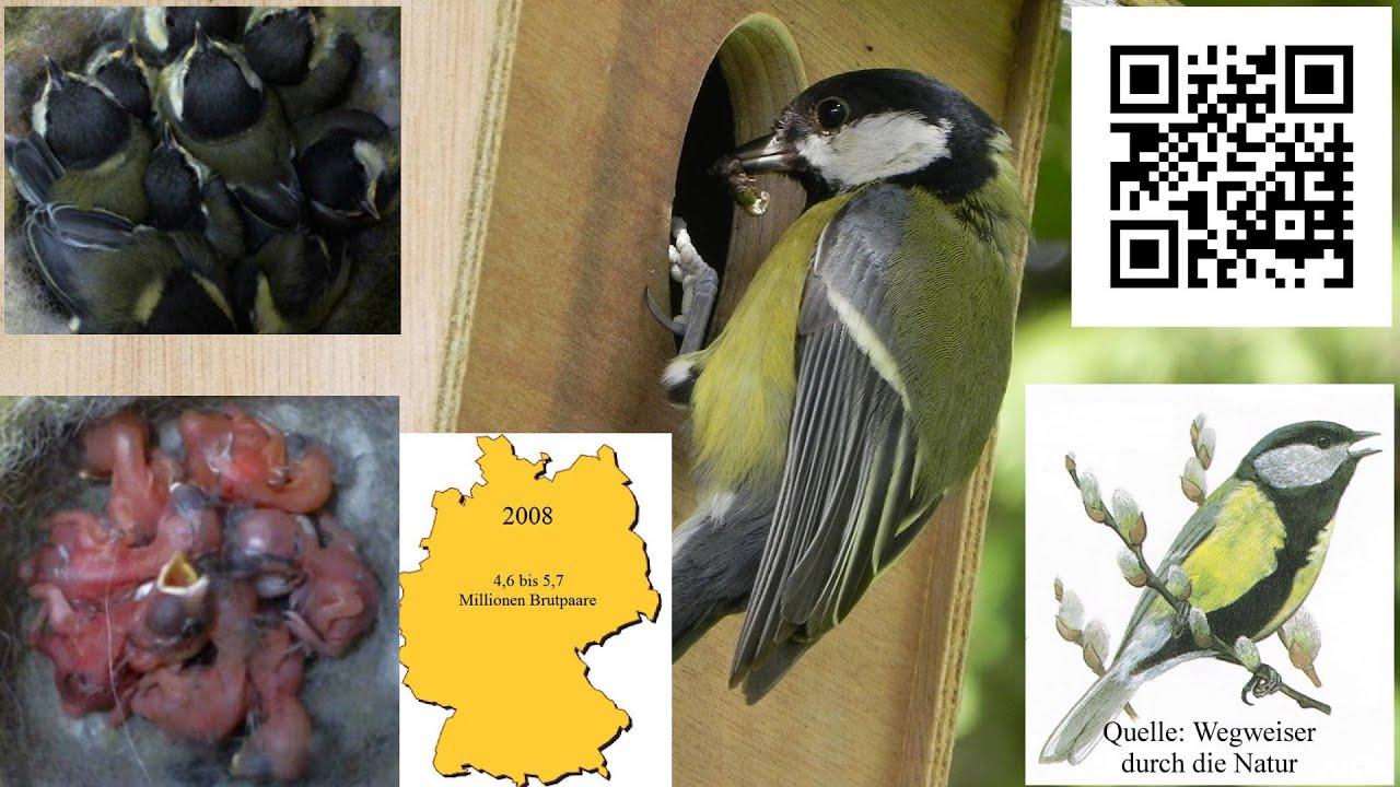 Die Kohlmeise - heimischer Vogel