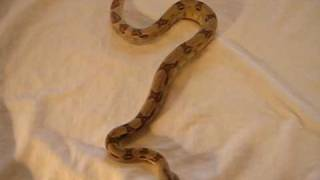 Ghost het Albino Red Tailed Boa Constrictor - Bowen