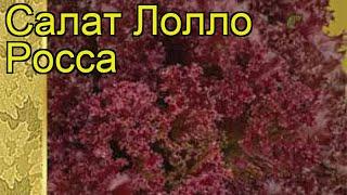 Салат Лолло Росса. Краткий обзор, описание характеристик, где купить семена Lollo Rossa