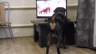 Ротвейлеры и большие африканские собаки
