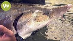 Stör-Fischerei im Iran - Die Jagd auf den teuersten Kaviar der Welt