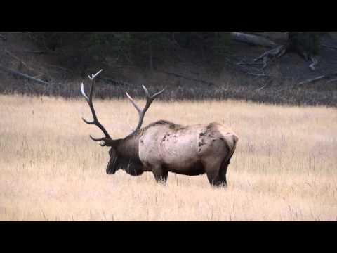 Alce (Elk) Yellowstone National Park - Estados Unidos