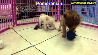 Pomeranian, Puppies, For, Sale In Toronto, Canada, Cities, Montreal, Vancouver, Calgary