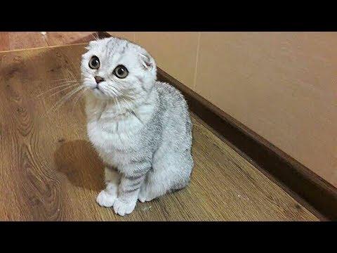 😻 Купили Котенка 4 мес. 1 День в Новом Доме 🐱 Шотландская Вислоухая Кошка Хлоя КОТЫ И КОШКИ
