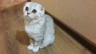 😻 Купили Котенка 4 мес. 1 День в Новом Доме 🐱 Шотландская Вислоухая Кошка Хлоя Dear Kitten