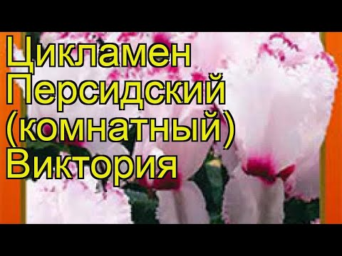 Цикламен персидская Виктория. Краткий обзор, описание характеристик cyclamen persicum