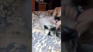 Балинезийская кошка Тася