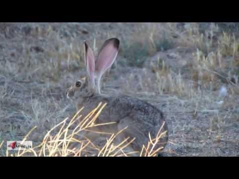 Black Tailed Jack Rabbit ~ Arizona, Desert Hare