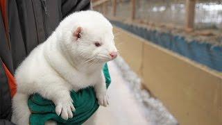 Aspekty branży zwierząt futerkowych w Polsce fragment programu TV Trwam
