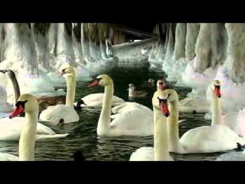 Tchaikovsky - Il lago dei cigni .avi -