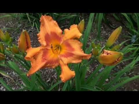 Hemerocallis Montfort 2011 an Official display garden of the American Hemerocallis Society Daylillys