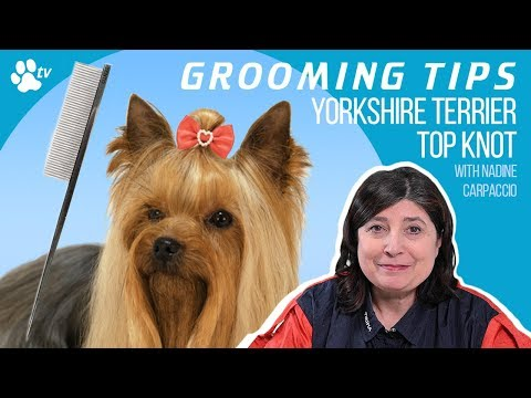 How to make a Yorkshire Terrier top knot | Grooming Tips – TRANSGROOM