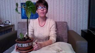 Мои комнатные растения. Бегония коралловая: уход(Мои комнатные растения. Бегония коралловая: уход., 2016-11-20T19:27:13.000Z)