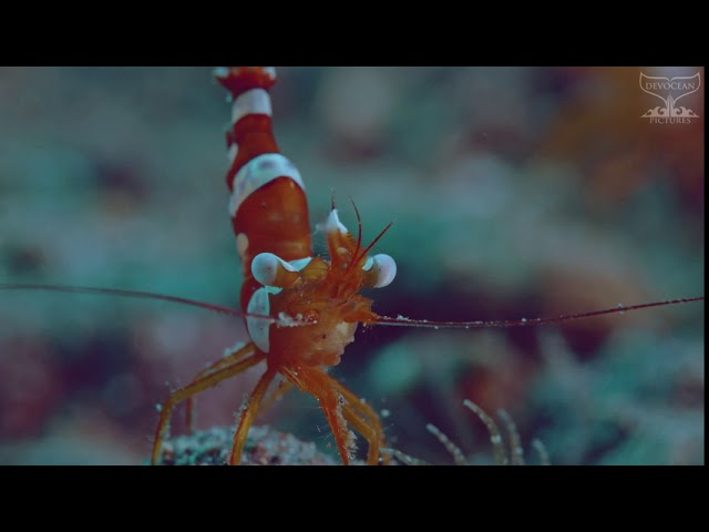 Take a Minute XVII - Squat Shrimp (Thor amboinensis)