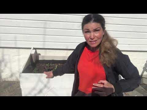 VIldjäst serieodling odla potatis och bondbönor Odla effektivt i Hemma hos Jessica v13