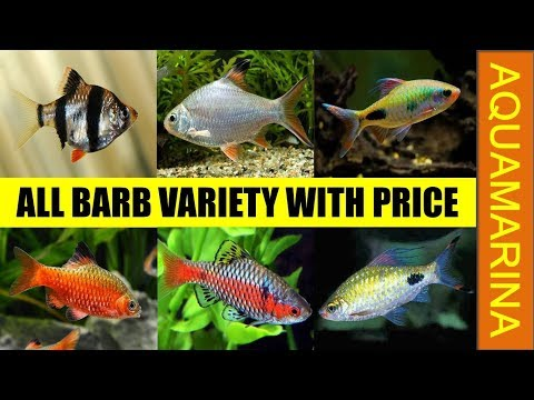 Top 10 Types Of Barb Fishes With Their Price List | Barb Fish Varieties || Aquamarina