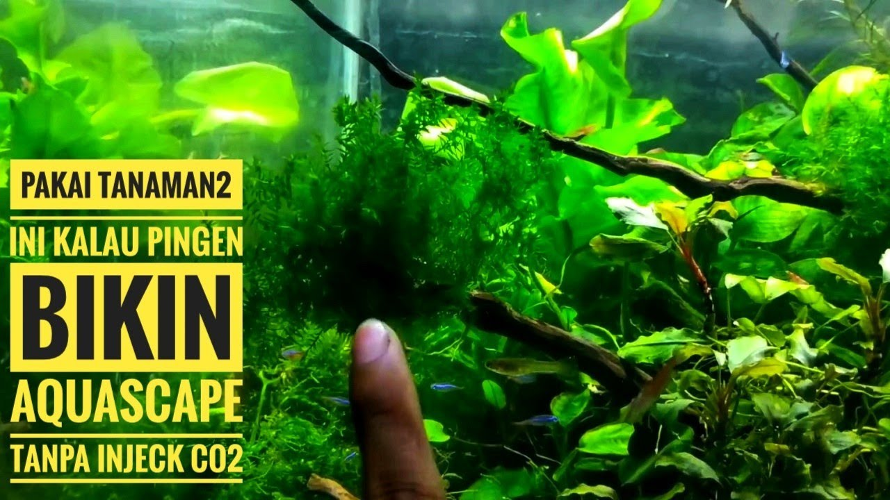 #34 Tanaman Aquascape low co2 (tanpa injeck co2 bisa hidup ...