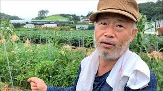 [생분해 멀칭필름] 친환경 생분해 멀칭비닐 고추밭 시험…