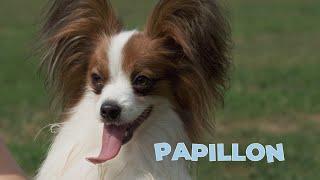 Papillon Dog Breed 101 [4K Video]