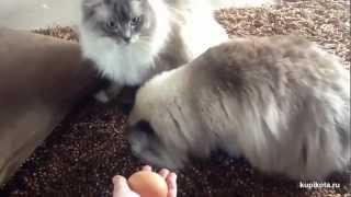 Рэгдолл - порода кошек