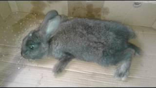 Болезни кроликов. Кокцидиоз.Отчего умирают кролики ?