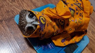 Owl inspection. We weigh the evil Burritowl, feed the little owls. Mouse ASMR and mukbang from Chu