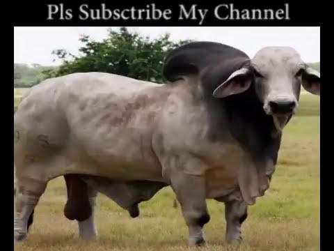 Training module - Cow Fattening System, বাণিজ্যিক গরু মোটাতাজাকরণ খামার করে কোটিপতি হওয়ার কৌশল