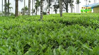 Small scale tea farmers of wayanad hit by dip in price of Green Tea