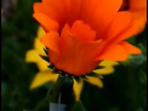 ดอกไม้บาน when the flower blooms