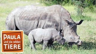 Ganz nah am Nashorn (Doku)  Reportage für Kinder  Paula und die wilden Tiere