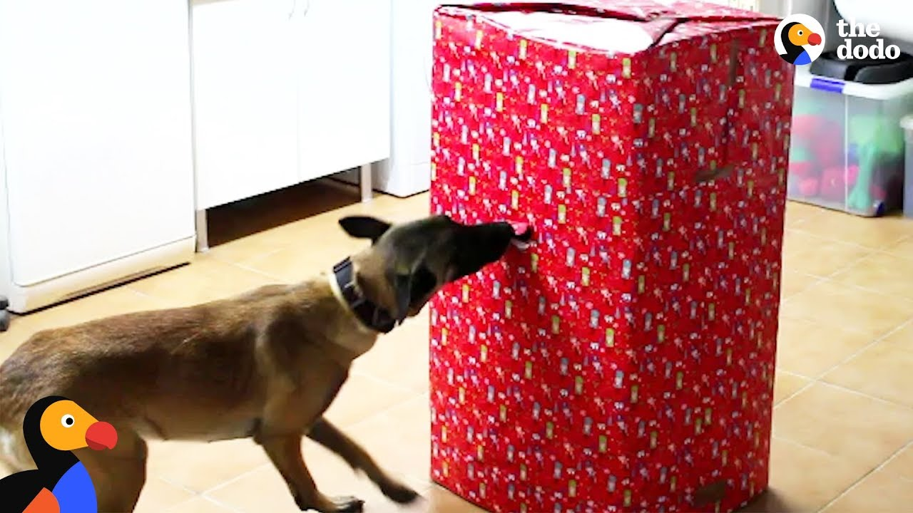Dogs Open Best Christmas Present EVER   The Dodo