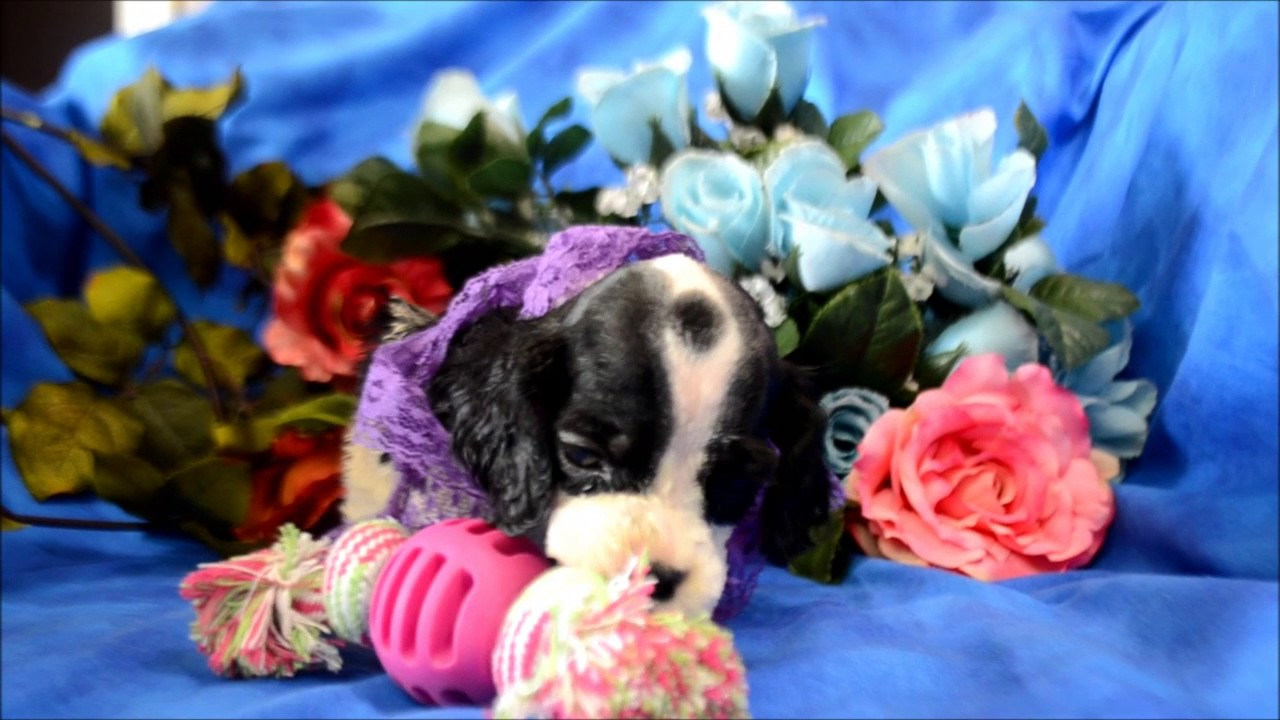 dugan cocker spaniel puppy for cocker spaniel puppies for sale www maryscockerhaven com 8296
