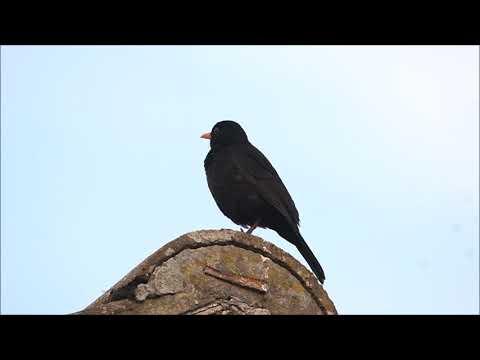 Singing Blackbird, then alarm call!