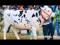 Holstein friesian heifer competition Jagraon Punjab