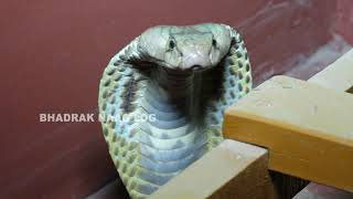 Cobra Snake Rescue At- Satpura, Bindha, Bhadrak