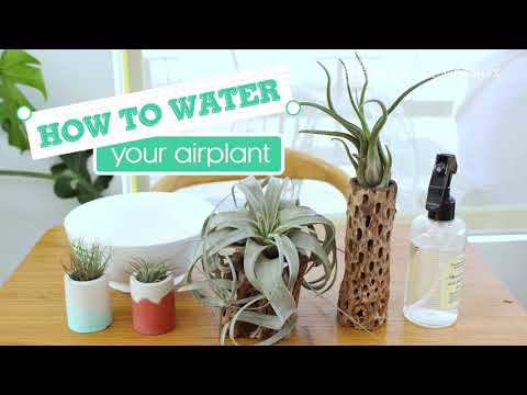 How To: Water Your Air Plant (Tillandsia) 101 | Plant Watering Tips