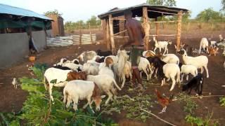 Ferme Tadisu Nourrissage des moutons/chèvres Mai 2015