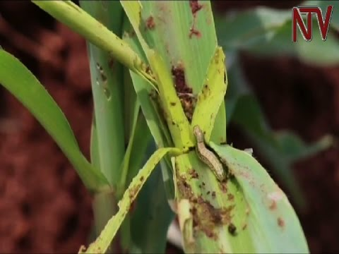 Army worms torment Luweero maize farmers